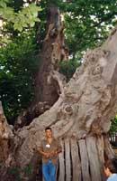 Castagno dei 100 cavalli  - Sant'alfio (4862 clic)