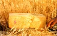 Caciocavallo ragusano  - Ragusa (4820 clic)