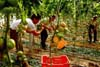 Raccolta dei pomodori in una serata del ragusano  - Modica (4042 clic)