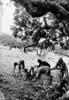 Iblei (RG) - Raccolta delle carrube  - Iblei (4546 clic)