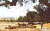 Campagna iblea - cavalli e carrubi  - Modica (4097 clic)