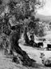 Nebrodi - paesaggio agricolo - (ME)  - Nebrodi (3285 clic)