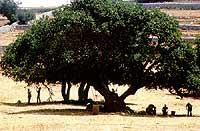 raccolta delle carrube  - Iblei (2436 clic)
