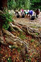 raccolta delle carrube  - Iblei (2121 clic)