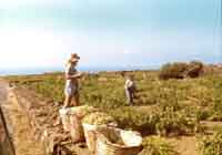 Pantelleria - la vendemmia - 1970  - Pantelleria (2660 clic)