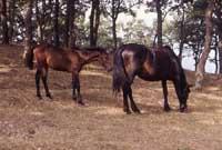 Cavalli di San Fratello  - Nebrodi (4587 clic)