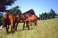 Cavalli di San Fratello  - Nebrodi (3909 clic)