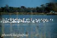 fenicotteri rosa al pantano Longarini  - Ispica (8090 clic)
