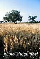 campo di grano  - Iblei (5274 clic)