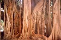 Parco D'Orleans: particolare del ficus magnolioides  - Palermo (18345 clic)