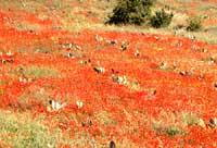 Campo di papaveri con fichidindia  - Iblei (4586 clic)
