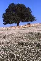 Carrubo, ruchetta e muro a secco  - Iblei (4325 clic)