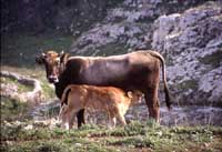 Vacche al pascolo sugli Iblei  - Iblei (6884 clic)