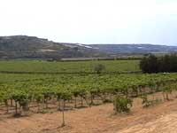 Iblei - vigne della cantina Valle dell'Acate  - Iblei (3165 clic)