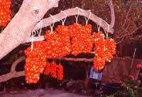 pennule di cerase - pomodori  - Pantelleria (4733 clic)