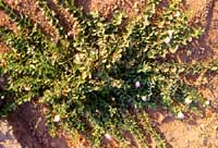 chiapparella - pianta di capperi  - Pantelleria (3306 clic)