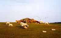 Mucche al pascolo nelle campagne  di Palazzolo Acreide  - Palazzolo acreide (1571 clic)