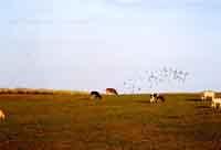 Mucche al pascolo nelle campagne  di Palazzolo Acreide  - Palazzolo acreide (1611 clic)
