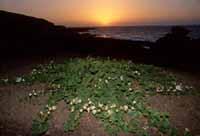 Pianta di Capperi e tramonto da brivido  - Linosa (5126 clic)